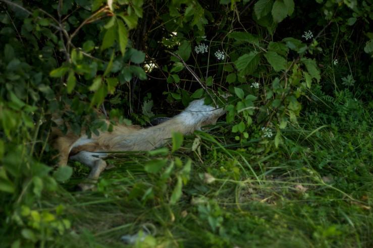 dead deer 2